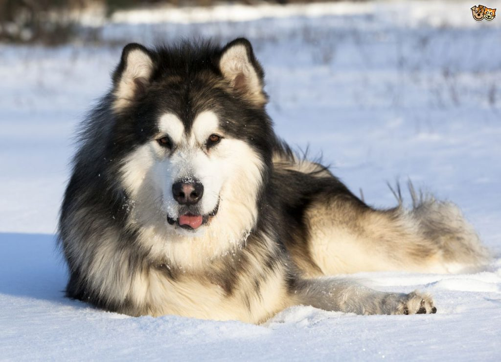 Malamute - race de chien - animal buzzz