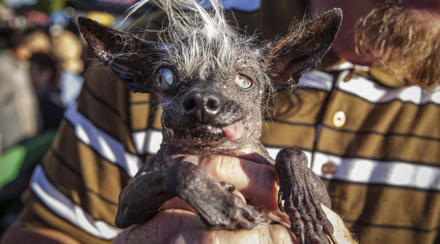 chien le plus laid du monde - animal buzzz
