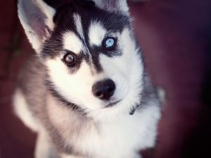 Husky de Sibérie - race de chien - animal buzzz