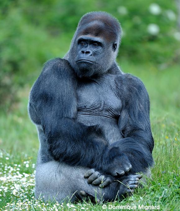 Gorille de l'ouest africain - animal buzzz