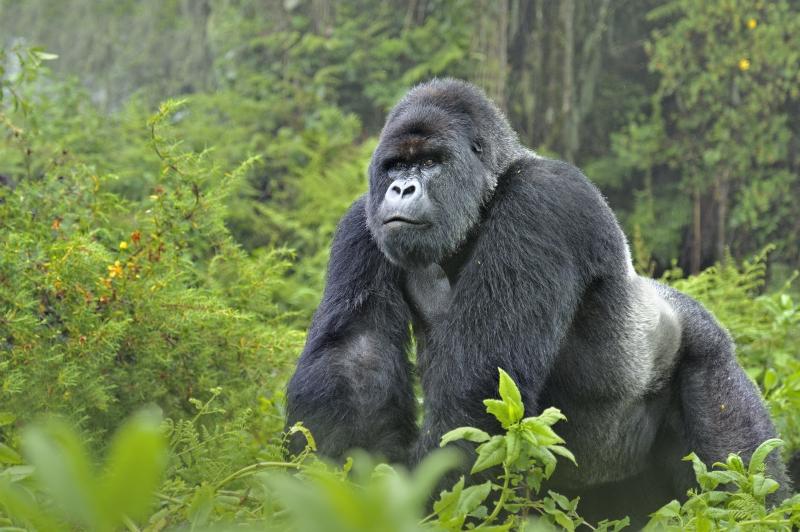 Gorille de montagne - animal buzzz