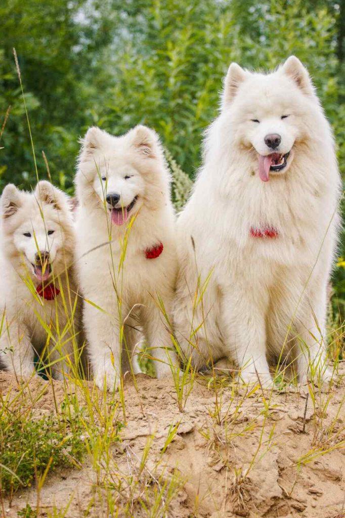 Samoyède - fiche animaux - race de chien