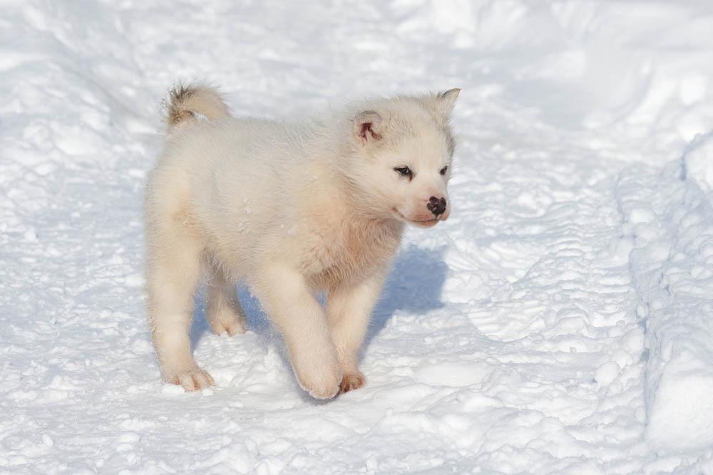 groenlandais - race de chien